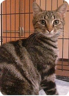 Domestic Shorthair Cat for adoption in Hillside, Illinois - Catniss-ONE SMART KITTY!