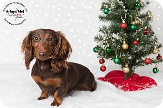 Dachshund Mix Dog for adoption in Sauk Rapids, Minnesota - Jazzy