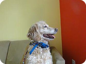 Cocker Spaniel/Poodle (Miniature) Mix Dog for adoption in Philadelphia, Pennsylvania - Choco