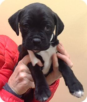 Boxer/Boston Terrier Mix Puppy for adoption in Oswego, Illinois - I'M ADOPTED Pebbles Morton