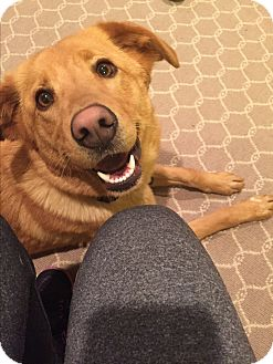 Golden Retriever/Labrador Retriever Mix Dog for adoption in Nashville, Tennessee - Sparkle