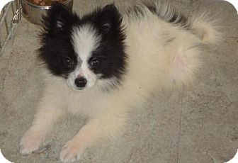 Pomeranian Mix Dog for adoption in Livonia, Michigan - Boo-ADOPTED