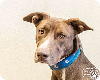 Retriever (Unknown Type) Mix Dog for adoption in Divide, Colorado - Sam