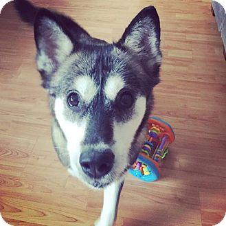 Siberian Husky Mix Dog for adoption in Cavan, Ontario - Winnie