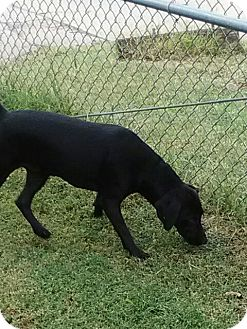 Labrador Retriever Mix Dog for adoption in Sand Springs, Oklahoma - Ms Pittles