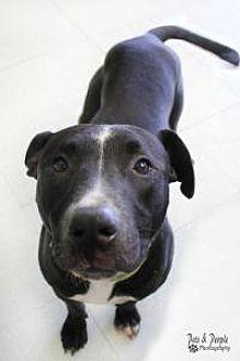 American Staffordshire Terrier/Labrador Retriever Mix Dog for adoption in Yukon, Oklahoma - Rex