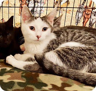 Domestic Shorthair Kitten for adoption in Colmar, Pennsylvania - Chase
