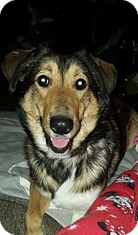 Sheltie, Shetland Sheepdog Mix Dog for adoption in Painted Post, New York - Della