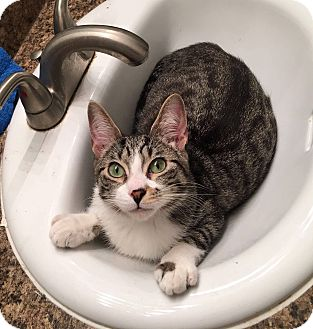 Domestic Shorthair Cat for adoption in Troy, Michigan - Toby
