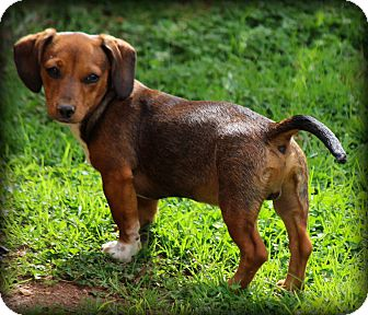 Dachshund Mix Puppy for adoption in Greenville, South Carolina - Moses