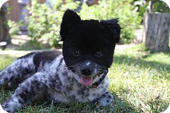 Pomeranian Mix Dog for adoption in San Dimas, California - Panda