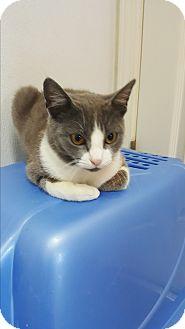 Domestic Shorthair Kitten for adoption in yuba city, California - Vee