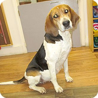 Treeing Walker Coonhound Mix Dog for adoption in Fayetteville, Tennessee - 17-d05-054 Skeeter