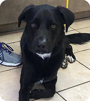 Labrador Retriever/Border Collie Mix Dog for adoption in Las Vegas, Nevada - Nashville