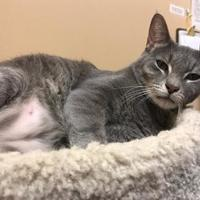 Domestic Shorthair/Domestic Shorthair Mix Cat for adoption in West Palm Beach, Florida - Bones