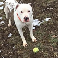 Adopt A Pet :: Swift (ACC) - Whitestone, NY