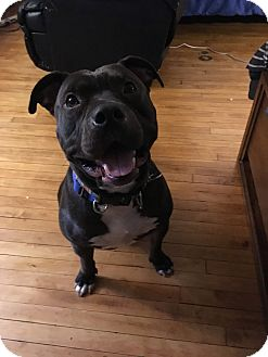 American Staffordshire Terrier Dog for adoption in Pleasantville, New York - Paxton