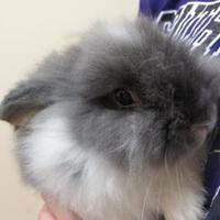 Dwarf/Dwarf Mix for adoption in Winfield, Kansas - Mufassa