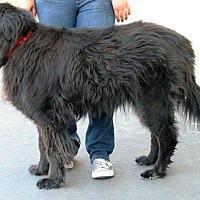 Adopt A Pet :: Teddy Bear - Palmdale, CA