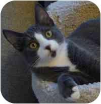 American Shorthair Kitten for adoption in Harbor City, California - Jack, Jack Bauer