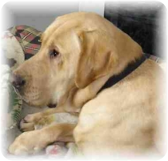 Labrador Retriever/Mastiff Mix Dog for adoption in Wyoming, Minnesota - Huckleberry