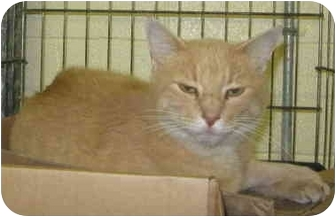 Domestic Shorthair Cat for adoption in Stillwater, Oklahoma - Sultan