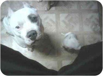 American Pit Bull Terrier Dog for adoption in palm springs, California - Johnny Boy
