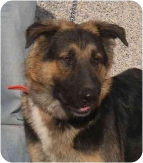 German Shepherd Dog Dog for adoption in Las Vegas, Nevada - Sarg