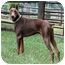 Photo 1 - Doberman Pinscher Dog for adoption in Greensboro, North Carolina - Rex