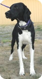 Labrador Retriever Mix Dog for adoption in Columbus, Nebraska - Billy