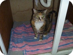 Domestic Shorthair Cat for adoption in Hamburg, New York - Madrid