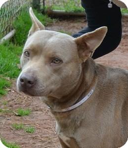Pit Bull Terrier Mix Dog for adoption in Athens, Georgia - Carmen