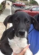 Great Dane/Labrador Retriever Mix Puppy for adoption in Santee, California - Rocky