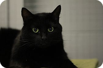 Domestic Shorthair Cat for adoption in Mission, British Columbia - Cammie