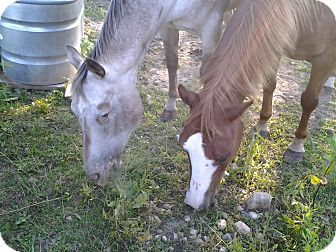 Appaloosa for adoption in Greenfield, Indiana - Whisper