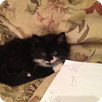 Maine Coon Kitten for adoption in Pittstown, New Jersey - Tye
