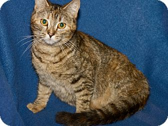 Domestic Shorthair Cat for adoption in San Andreas, California - Spitfire