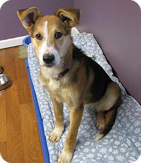 Sheltie, Shetland Sheepdog/German Shepherd Dog Mix Dog for adoption in Lisbon, Ohio - Doodle ADOPTED!!!