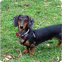 Adopt A Pet :: Slinky - Killingworth, CT