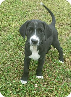 Labrador Retriever Mix Puppy for adoption in Plainfield, Connecticut - Griffin