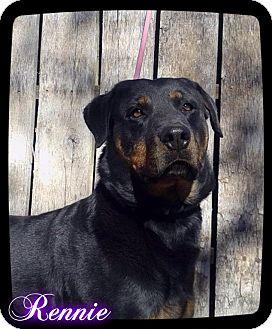 Rottweiler Dog for adoption in Estancia, New Mexico - Renie