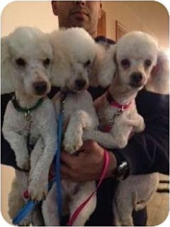 Toy Poodle Dog for adoption in Flushing, New York - Cottonelle
