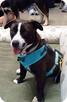 Boston Terrier/Dachshund Mix Dog for adoption in West Los Angeles, California - Guppy
