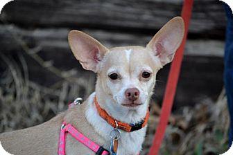 Chihuahua Dog for adoption in Parkville, Missouri - Nilla