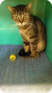 Domestic Mediumhair Cat for adoption in Maquoketa, Iowa - Ginger