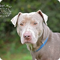 Weimaraner Dog for adoption in Fort Valley, Georgia - Buster