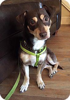 Dachshund/Miniature Pinscher Mix Dog for adoption in Brooklyn, New York - Chip