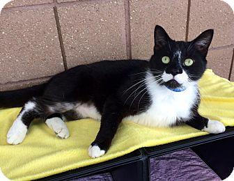 Domestic Shorthair Cat for adoption in Battle Creek, Michigan - Monroe