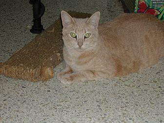 Domestic Shorthair Cat for adoption in Naples, Florida - Autumn Rose