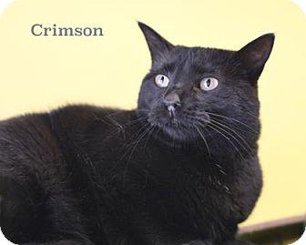 Domestic Shorthair Cat for adoption in West Des Moines, Iowa - Crimson
